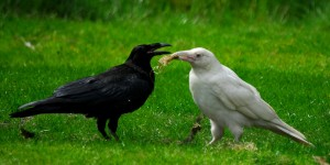 A photo of a black raven and a white raven